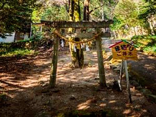 縁結びの御神木(熊野神社のクロガネモチ)