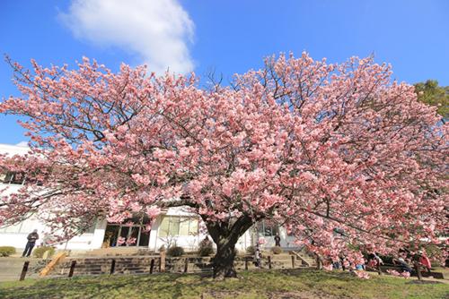 向島小学校 蓬莱桜