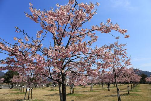 新築地緑地の桜