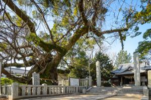 老松神社のクスノキ