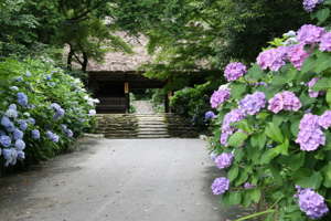 Hydrangea and Autumn Leaves of Amida-ji Temple annex of Todai-ji Temple