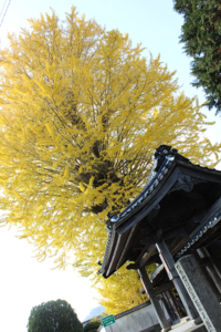 Ginkgo Tree at Tentoku-ji Temple