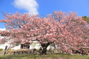 Horai-zakura Cherry Blossoms