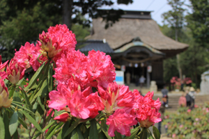 Rhododendrons at Usa Hachimangu Shrine